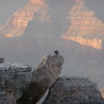 Grand Canyon oiseaux